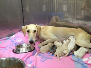 Sweetie and her 10 puppies. She and her husband Miskart were two of the most beautiful Saluki's in Qatar